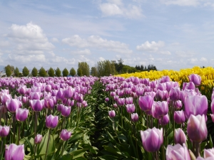 A field of yellow and purple tulips.