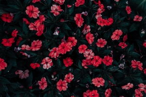 Red and white flowers.