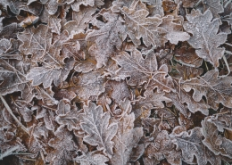 Brown leaves with frost on them.