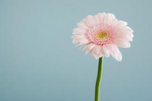 A pink flower against a light blue wall.