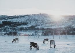 reindeer grazing in a snowy field.