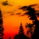 An orange sunset with pine trees.