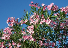 Pink flowers against a blue sky.