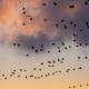 Birds flying across a sunset.