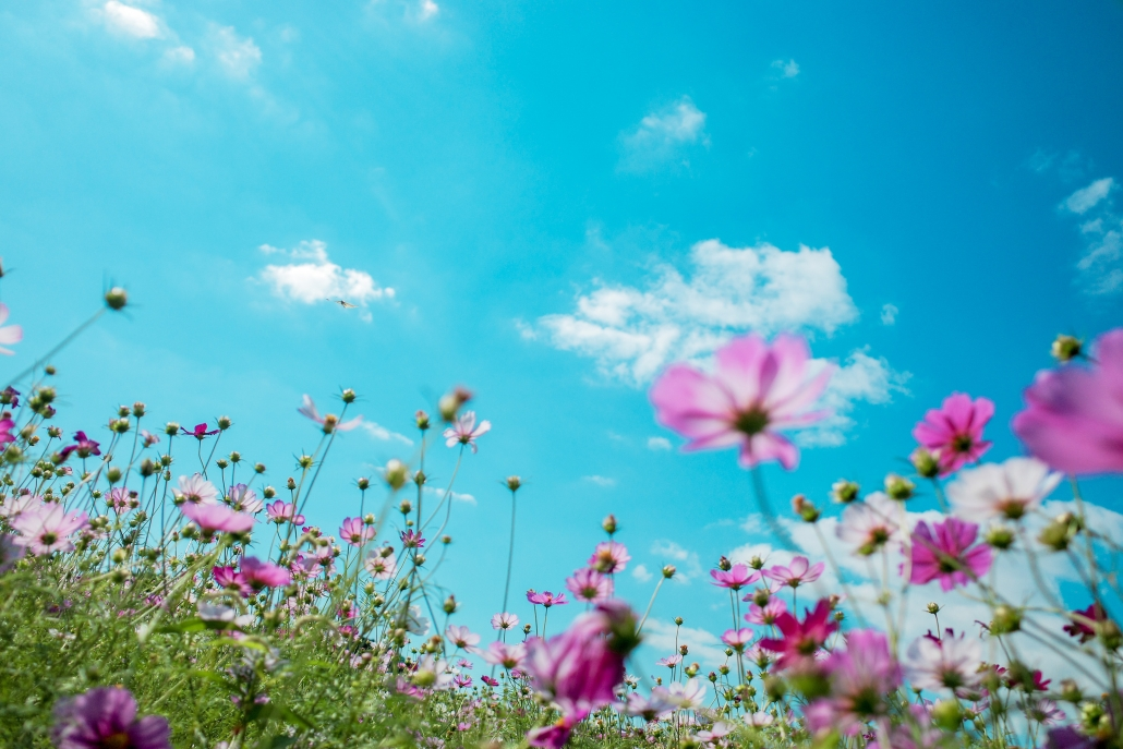 Pink flowers in a field.