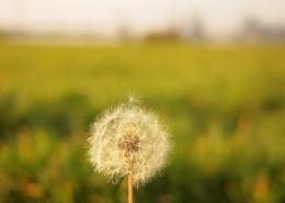 A dandelion in a green field.