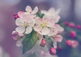 Pink and white apple blossoms.
