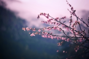 Pink flowers on branches.