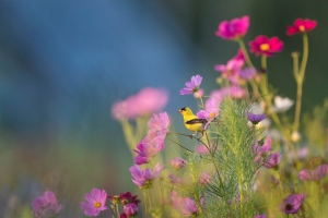 Purple flowers with a yellow and black bird.