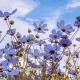 Blue flowers in a field.