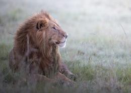 August 12th devo image, a lion.