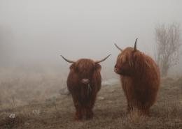 August 4th devo image, two yaks.