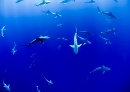 August 5th devo image, sharks swimming in blue water.
