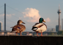 August 23rd devo image, two ducks looking over a city.
