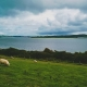 August 31st devo image, sheep in a field.